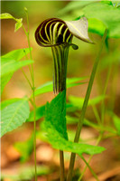 Jack-in-the Pulpit